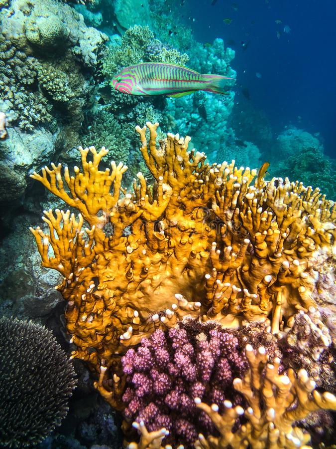 Подводный плавани в Marsa Alam, Египет Коралловый риф стоковые изображения rf