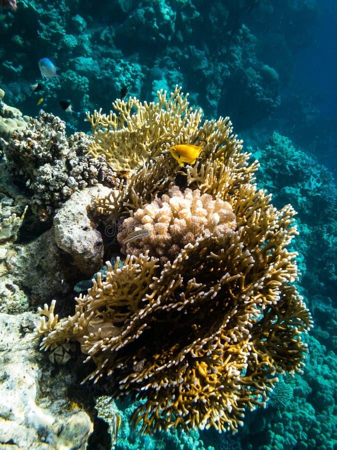 Подводный плавани в Marsa Alam, Египет Коралловый риф стоковое изображение
