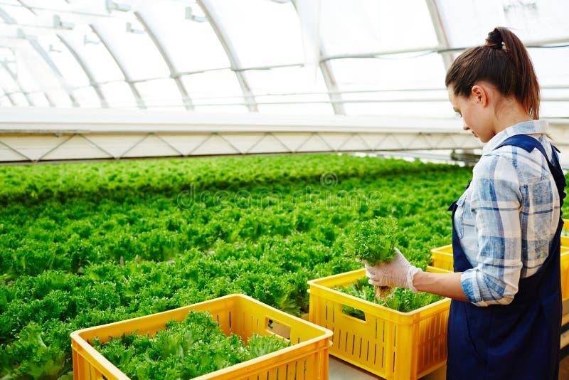 Подготавливать салат для надувательства стоковые изображения rf