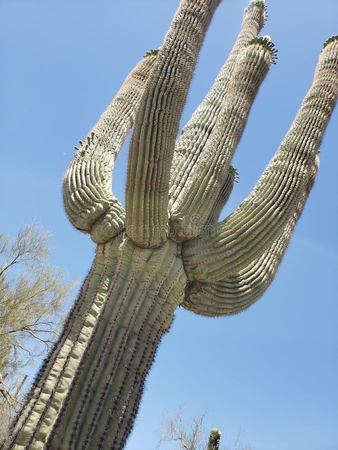 подготовляет saguaro entwined кактусом стоковая фотография