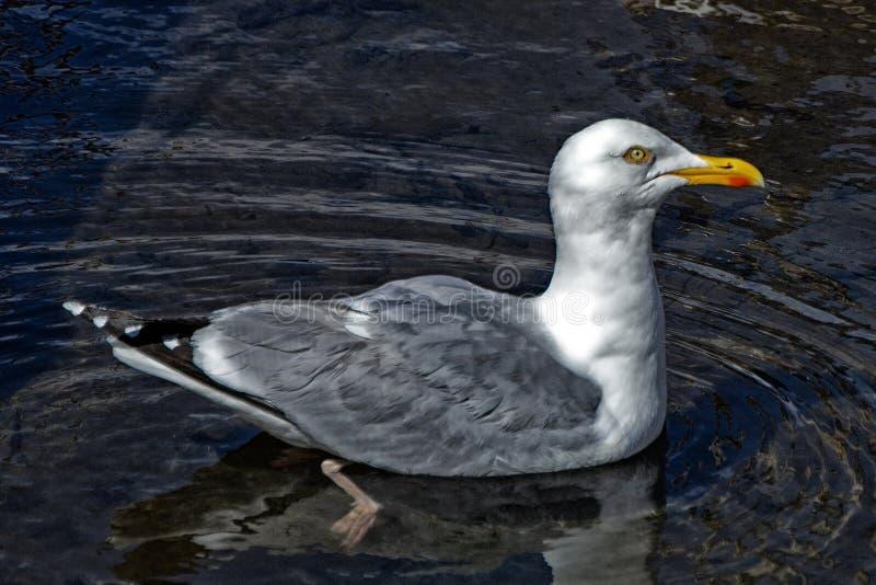 поддерживаемая Черно чайка, северное Berwick, Шотландия стоковая фотография