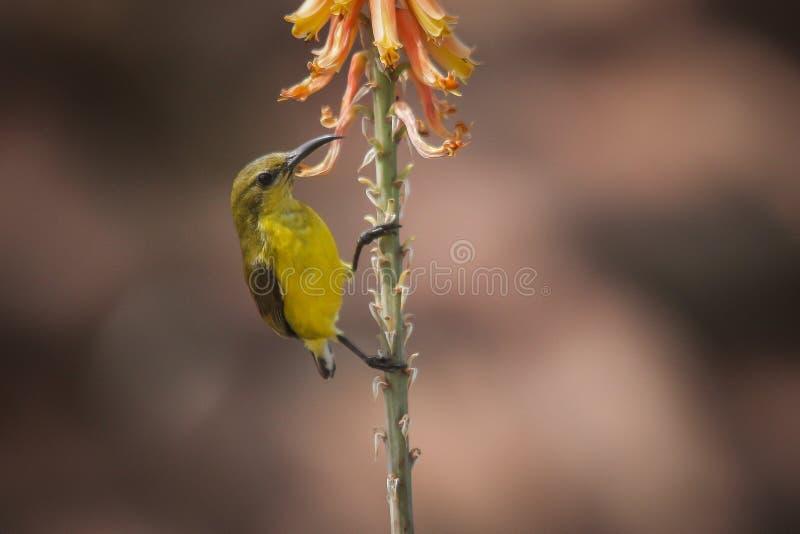 Поддерживаемое оливк sunbird - живая природа стоковые фотографии rf