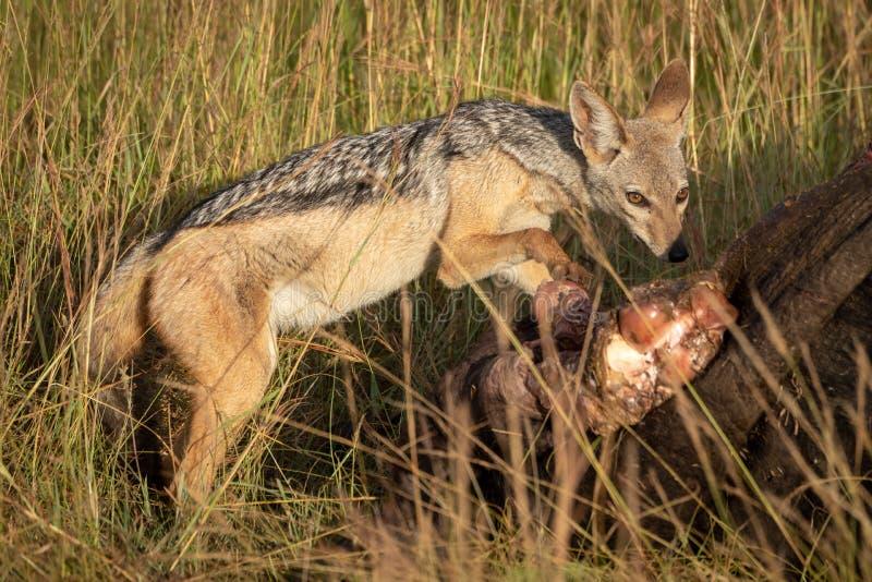 поддерживаемые Черно лапки jackal виновно на carcase буйвола стоковое изображение rf