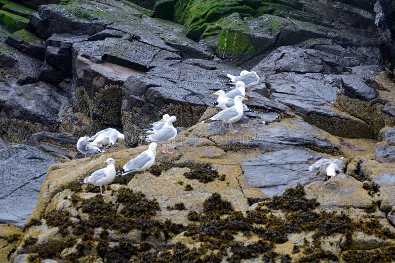 поддерживаемые Черно чайки, северное Berwick, Шотландия стоковые фото