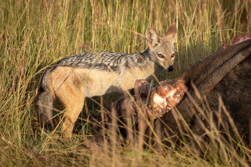 поддерживаемый Черно jackal стоит виновно carcase буйвола стоковая фотография rf