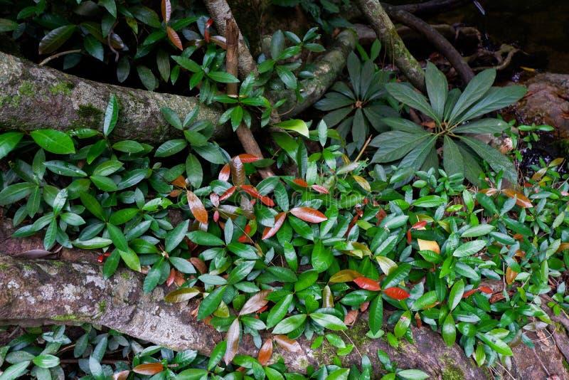 Поддерживайте корни дерева и сочную листву в тропическом лесе стоковые фото