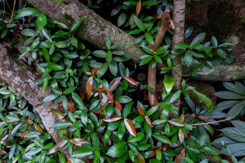Поддерживайте корни дерева и сочную листву в тропическом лесе стоковые изображения