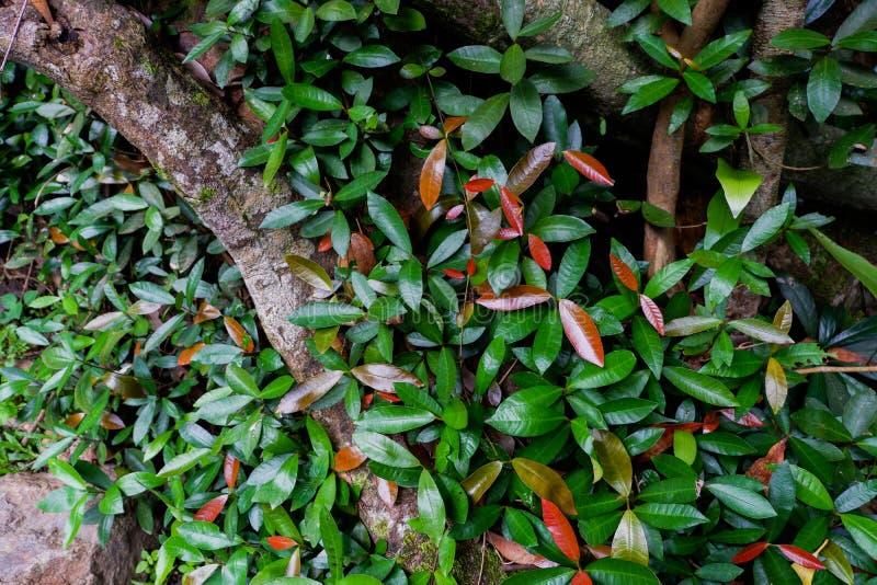 Поддерживайте корни дерева и сочную листву в тропическом лесе стоковое изображение rf