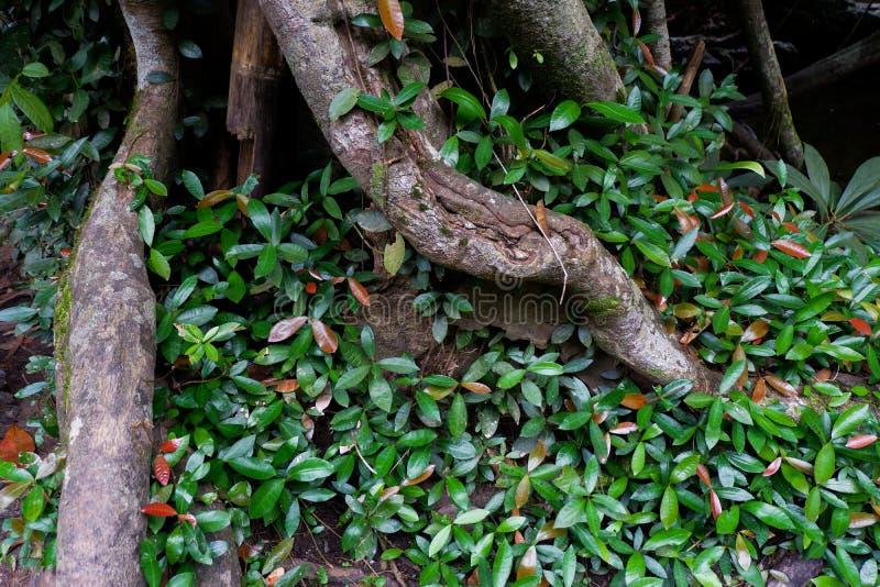 Поддерживайте корни дерева и сочную листву в тропическом лесе стоковая фотография