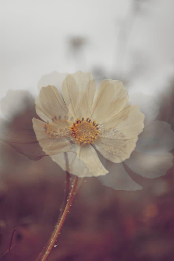 Подкрашиванное изображение цветка сада сделанное мульти-выдержкой и стоковое изображение rf