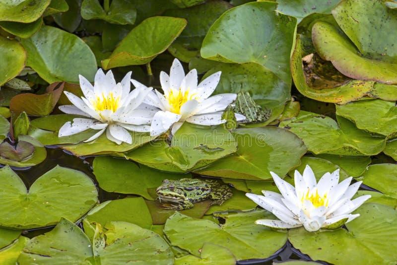 Подлинные, естественные лилии воды и лягушки в пруде стоковое изображение