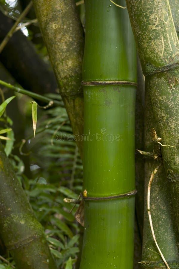 поднимающее вверх бамбука близкое стоковая фотография