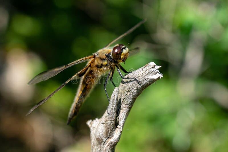 поднимающее вверх близкого dragonfly большое стоковая фотография