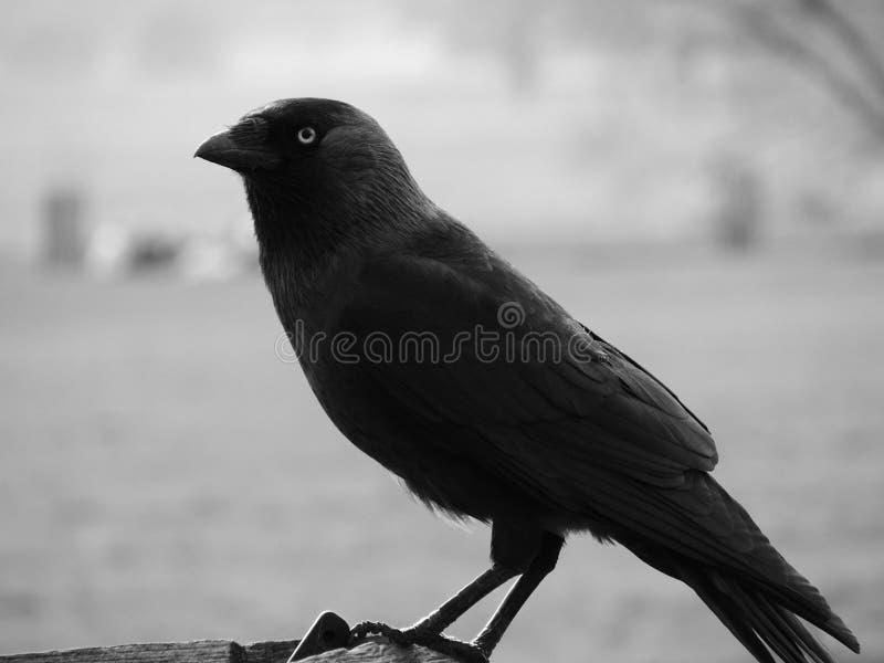 Поднимающее вверх ворона близкое стоковые фотографии rf