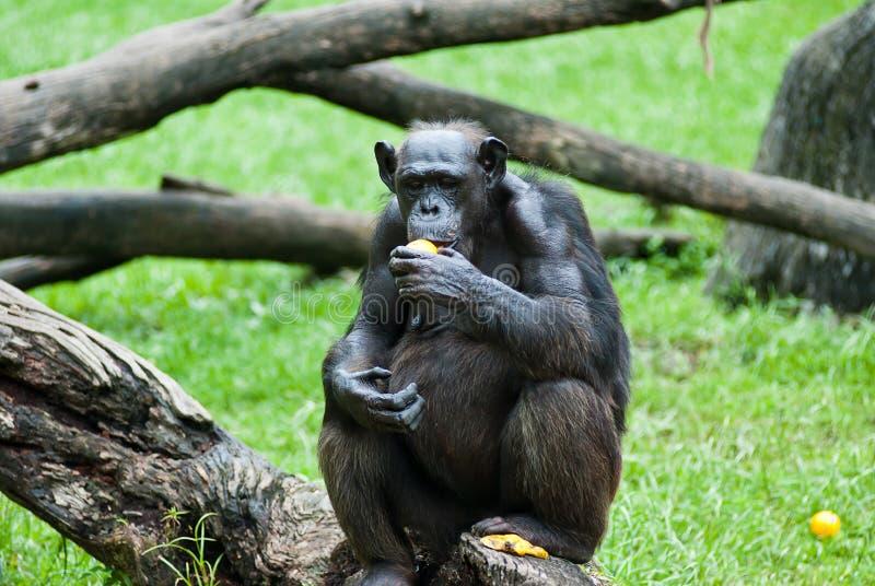 поднимающее вверх обезьяны близкое стоковое фото rf