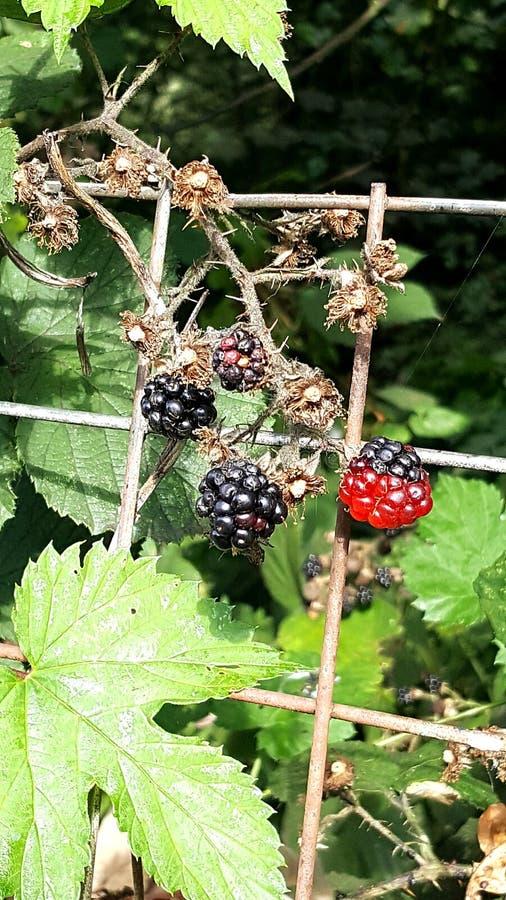 Поднимающее вверх ягоды близкое стоковое изображение