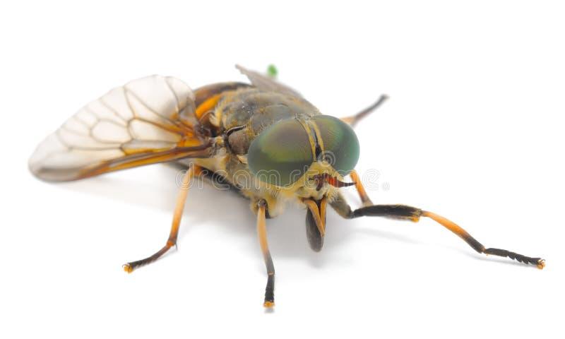 поднимающее вверх botfly близкое стоковая фотография