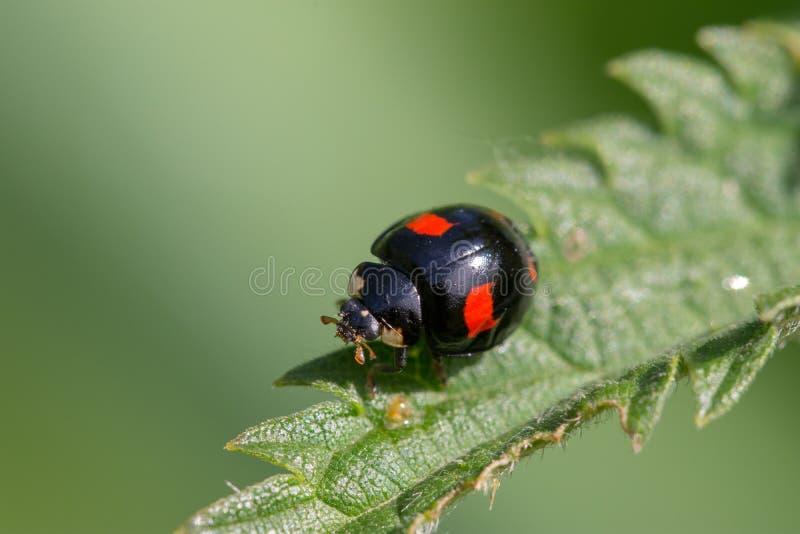 Поднимающее вверх Ladybug близкое стоковое изображение