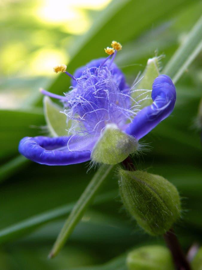 Поднимающее вверх Spiderwort близкое стоковое фото