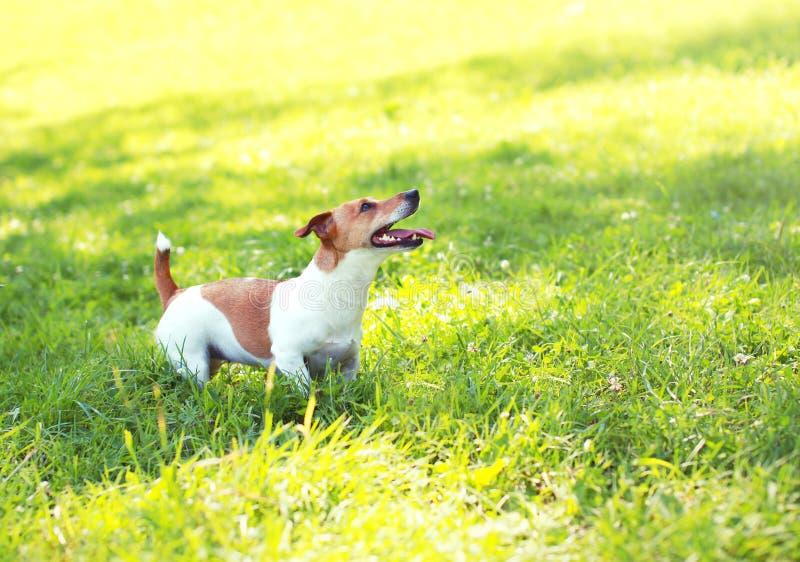 Поднимите собаку домкратом терьера Рассела играя на зеленой траве стоковое фото