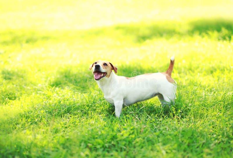 Поднимите собаку домкратом терьера Рассела на зеленой траве на лете стоковые фотографии rf