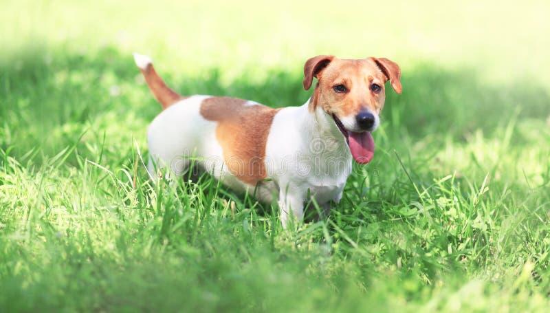 Поднимите собаку домкратом терьера Рассела на траве весны стоковое фото
