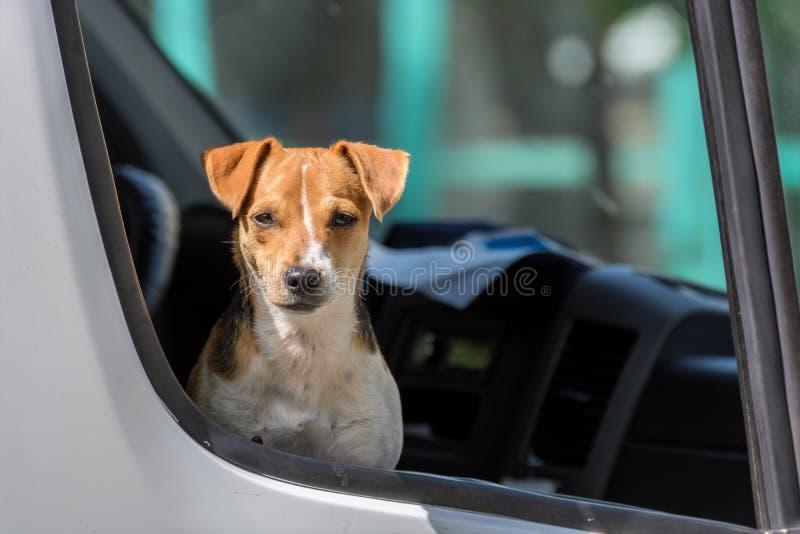 Поднимите терьера домкратом Рассела в открытом окне автомобиля приемистости стоковые фото