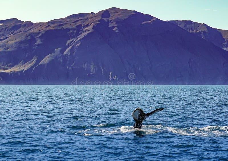 Подныривание кита на побережье Исландии около Husavik стоковые фото