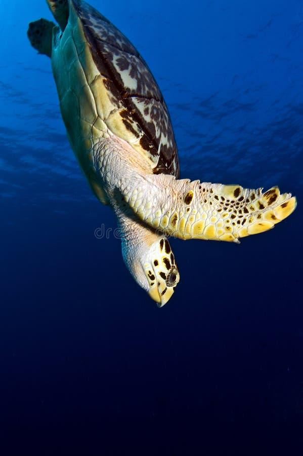 подныривание счета hawks черепаха моря стоковая фотография rf