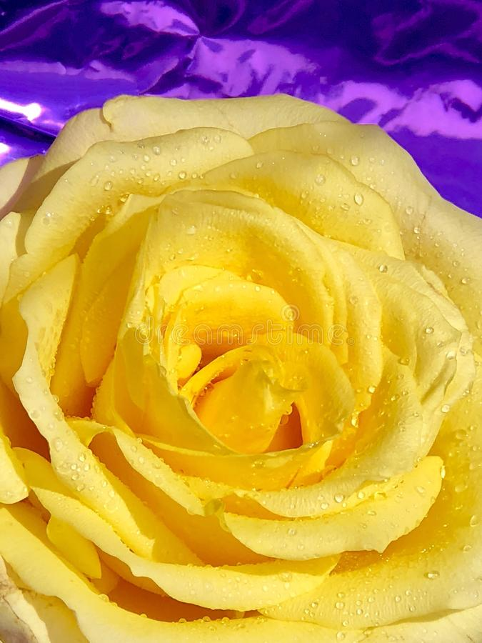 Поднял желтый цветок с капельками стоковое фото rf