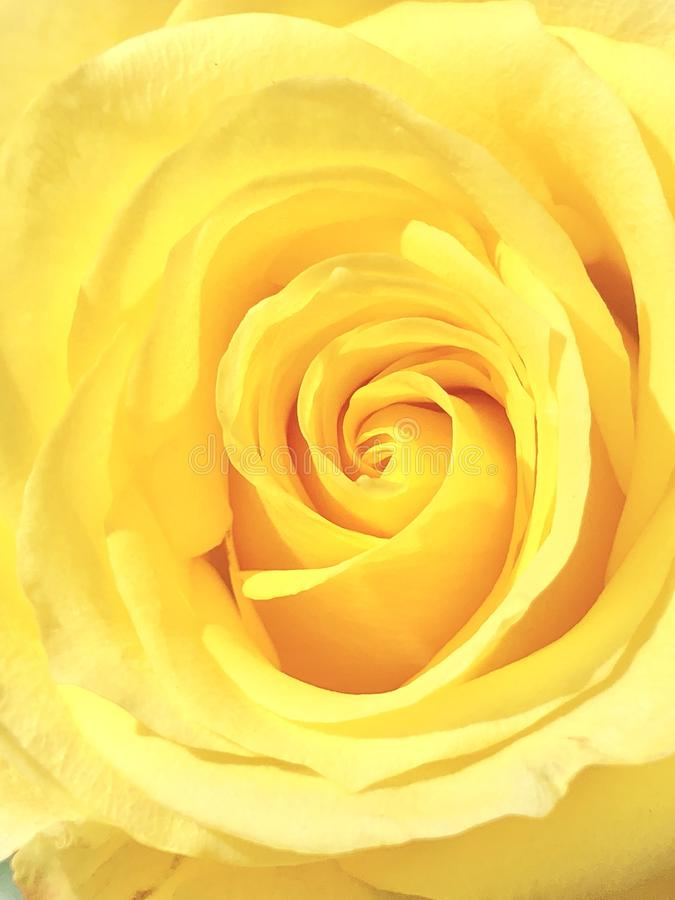 Поднял желтый цветок стоковые изображения rf