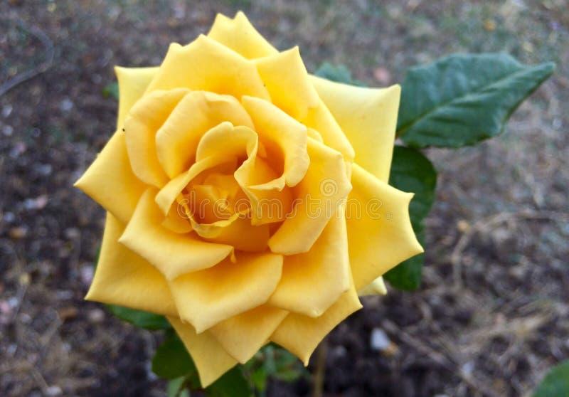 поднял желтый цвет стоковое фото
