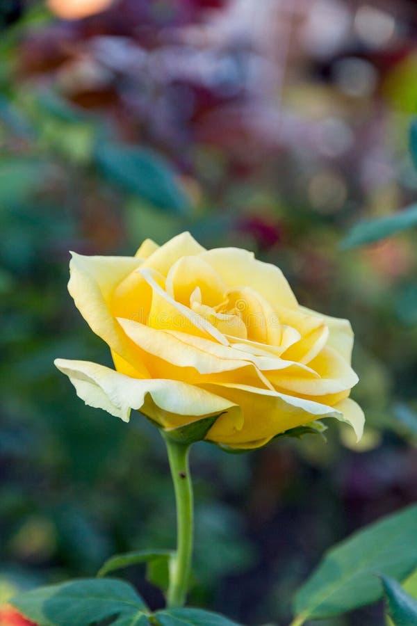 поднял желтый цвет стоковые фотографии rf