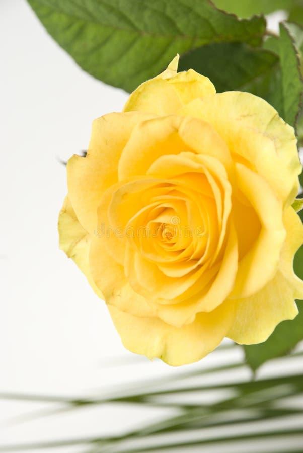 Download поднял желтый цвет стоковое изображение. изображение насчитывающей yellow - 6862973