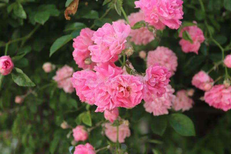 Поднял розы дерева зацветать стоковая фотография