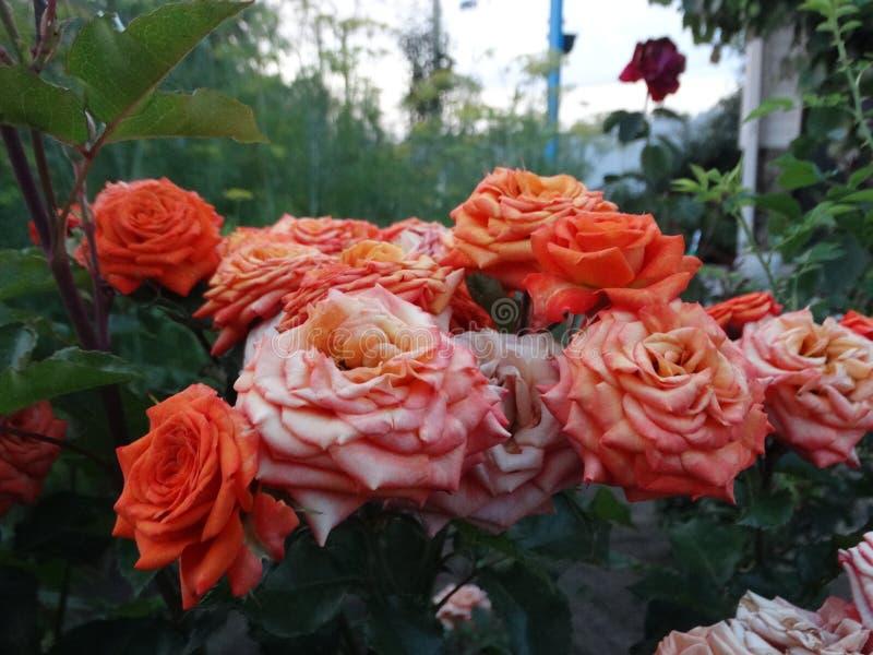 Поднял - ферзь цветков стоковое фото rf