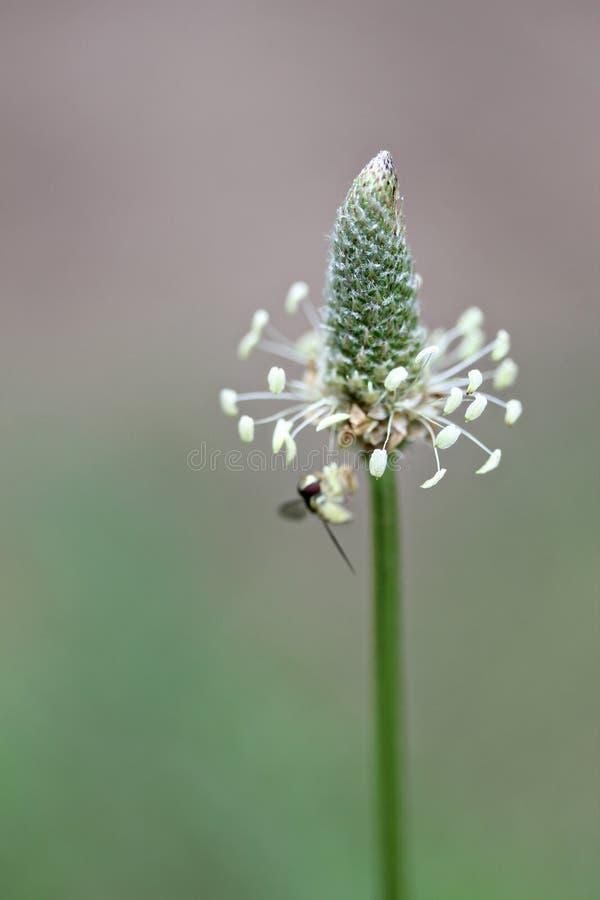 подорожник головки цветка стоковое фото rf