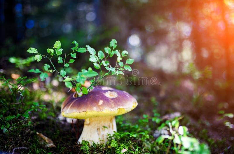 Подосиновик на мхе в грибах леса ища и комплектуя в подосиновике леса edulis съестной гриб Здоровый и очень вкусный стоковое фото