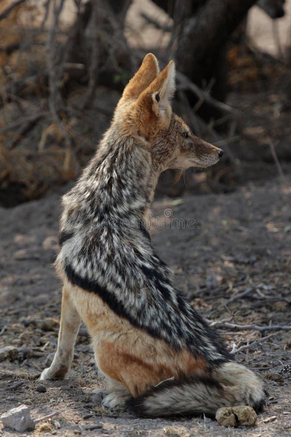 Download подпертый черный jackal стоковое изображение. изображение насчитывающей саванна - 6850013