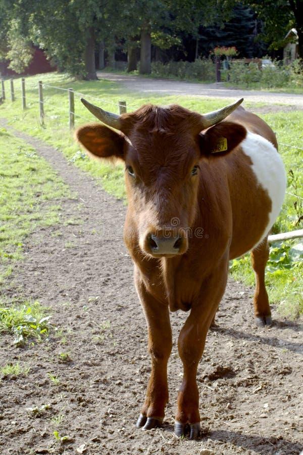подпоясанные детеныши быка стоковая фотография rf