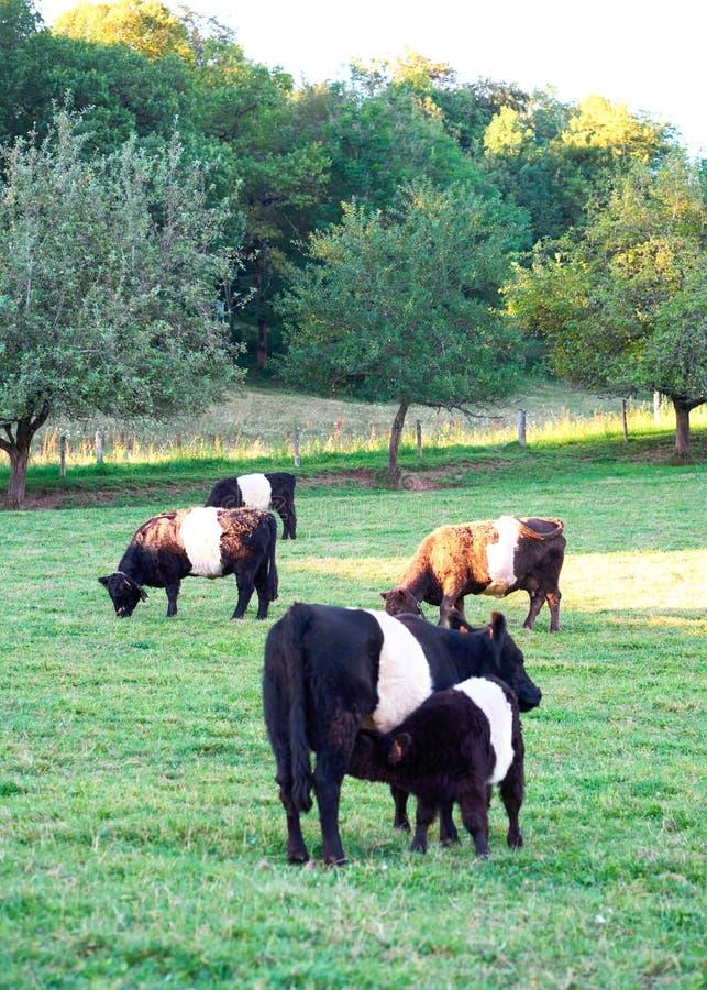 Подпоясанные коровы и икра Galloway на выгоне стоя ел траву стоковое изображение
