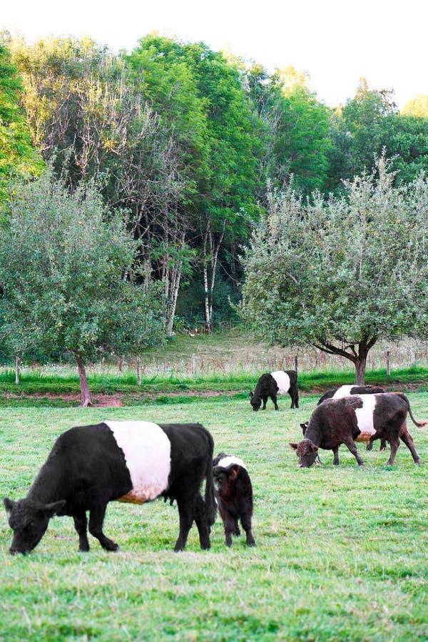 Подпоясанные коровы и икра Galloway на выгоне стоя ел траву стоковые изображения