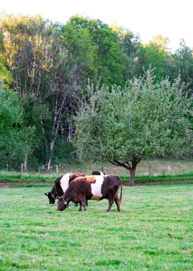 Подпоясанные коровы Galloway в выгоне стоя ел траву стоковая фотография rf