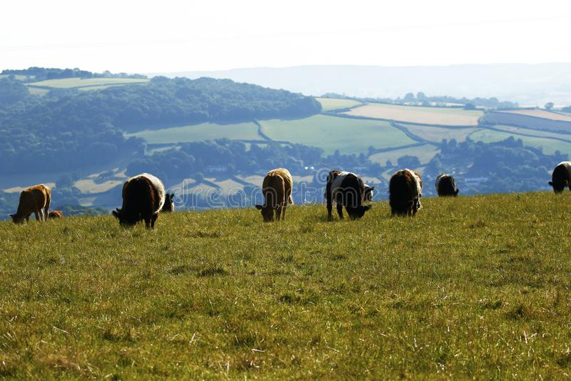 Подпоясанные скотины Galloway пася на горизонте стоковые изображения rf