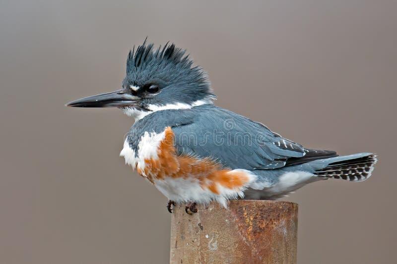 Подпоясанный Kingfisher стоковые изображения rf
