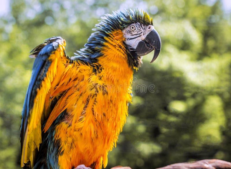 Подражатель орла стоковые изображения