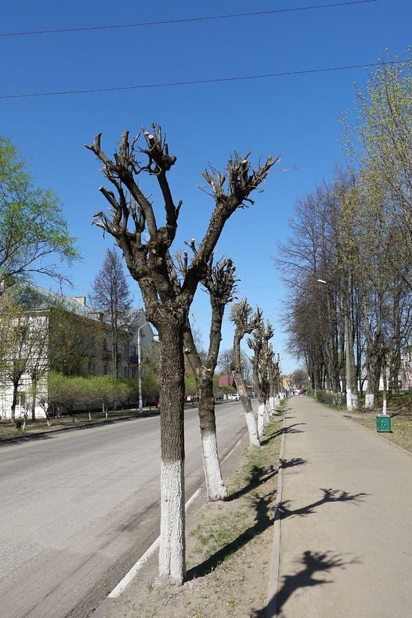Подрезанный день дерева весной солнечный против голубого неба Вдоль улицы стоковые фотографии rf