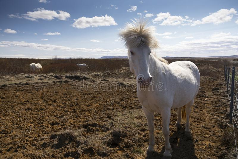 Подсвеченная белая исландская лошадь стоя в поле стоковое фото rf