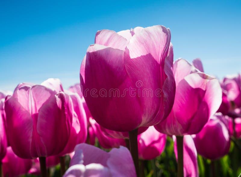 Подсвеченные розовые тюльпаны в поле стоковое фото