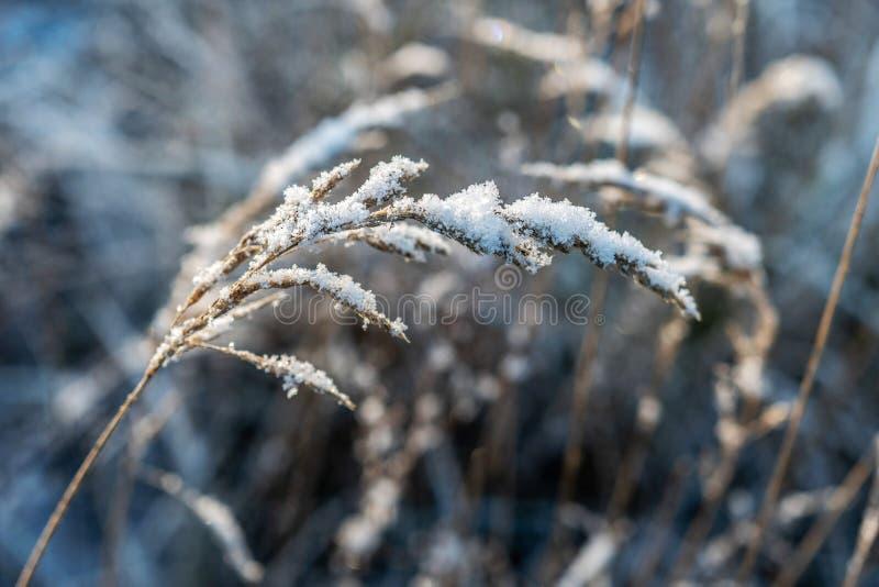 Подсвеченный, заморозок покрыл траву на холодном и красивом утре зимы стоковая фотография rf